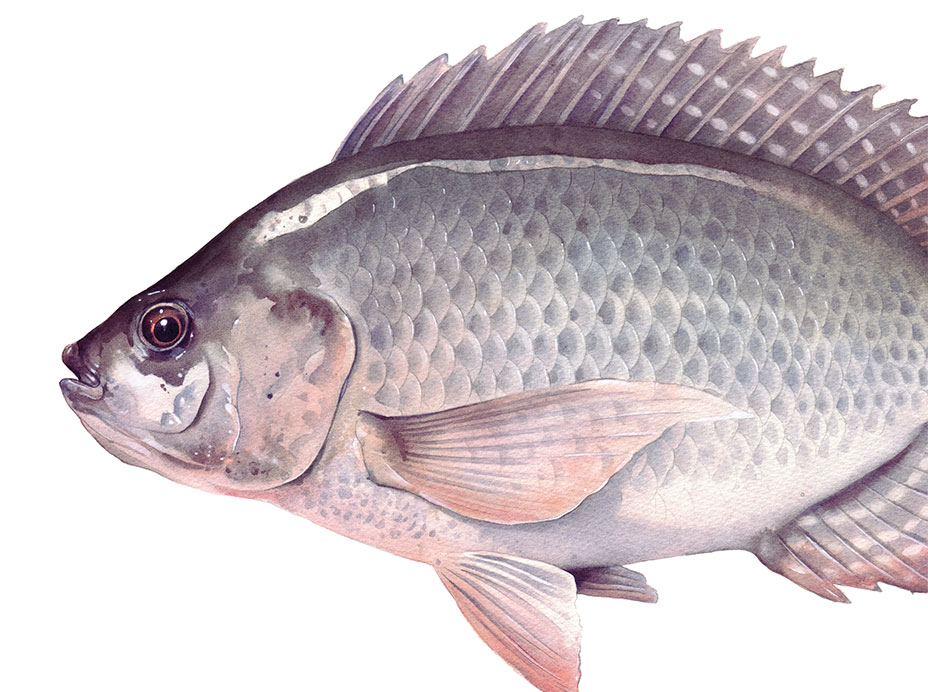The fish called Talapia.